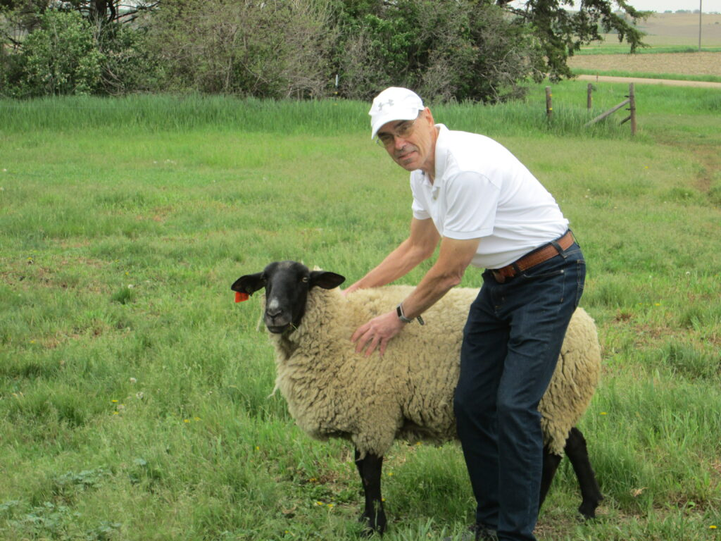 Bill inspecting sheep